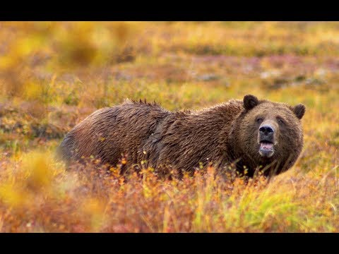 Someone May Die Today.........Insane Grizzly Bear Nightmare
