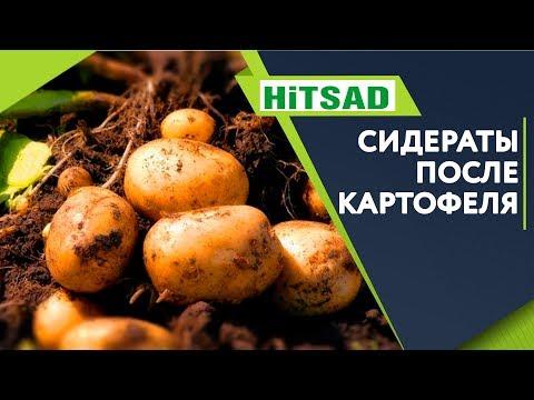 Какой СИДЕРАТ Посадить После Картофеля ✔️ Что посадить когда выкопали картошку  ✔️ | картофеля | сидераты | сентябре | посадить | сидерат | после | лучше | какой | какие | п