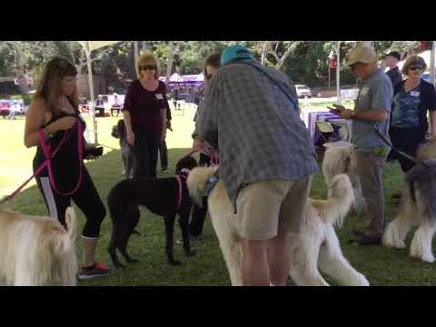 Highlights of Afghan Hound Rescues in 2019