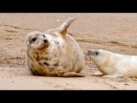 Grey Seals at Horsey - Norfolk Coast 1-day Tour - Mini-documentary