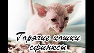 Горячие кошки сфинксы видео