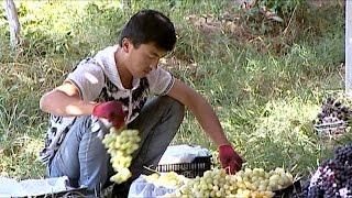 Таджикистан: виноградный край