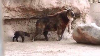 Baby Takin born at ABQ zoo