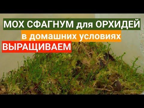 ВОЗМОЖНО ли дома для ОРХИДЕЙ вырастить мох сфагнум ИЗ того ХЛАМА, что продают в магазине?
