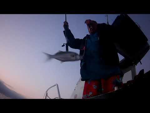 Download Shad attack behaviour filmed underwater at Port Shepstone