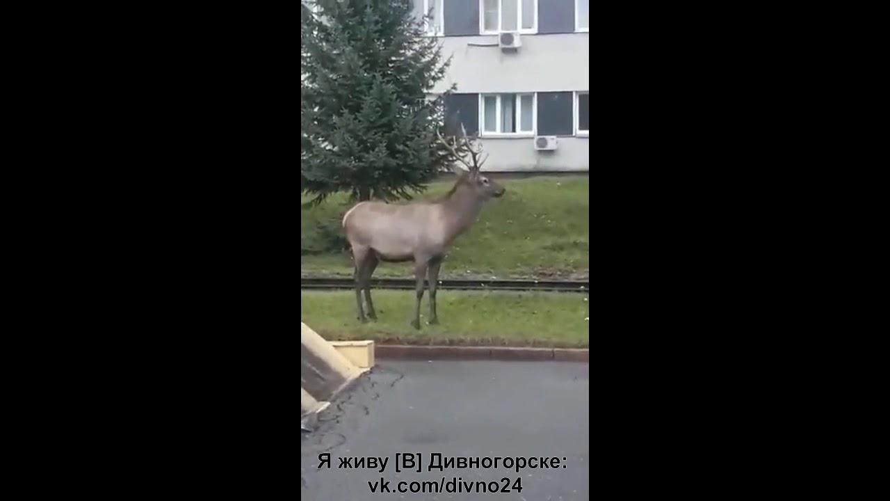Олень в Дивногосрке - YouTube