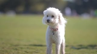 Maltese-poodle Gallops In The Park | The Daily Puppy