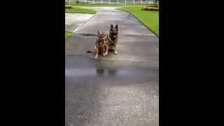 All American Dog Training Showing Finish To Heel