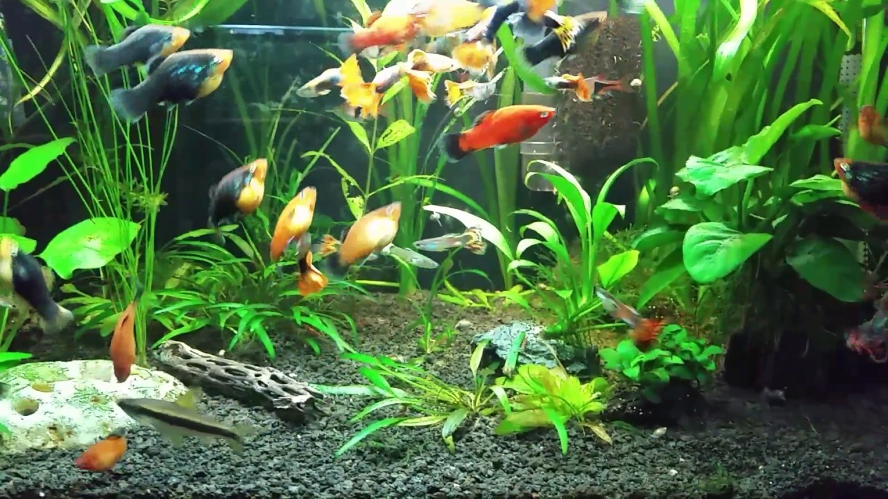 Platy Fry Cherry Shrimp In The Planted Tank