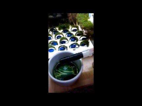 Spirulina feeding