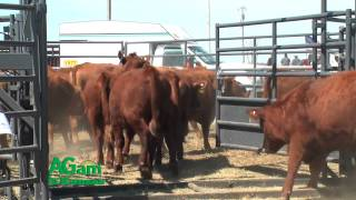 Cattle Demonstation At Great Bend Expo