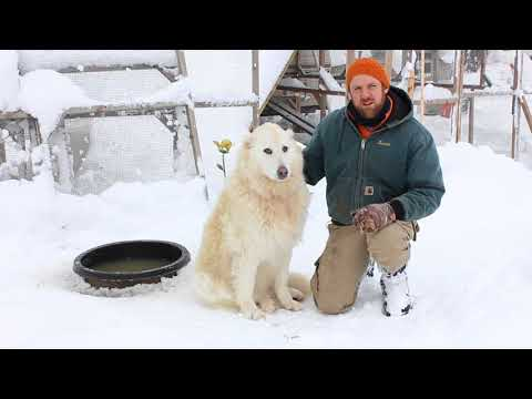 Our Livestock Guardian Dog and winter weather