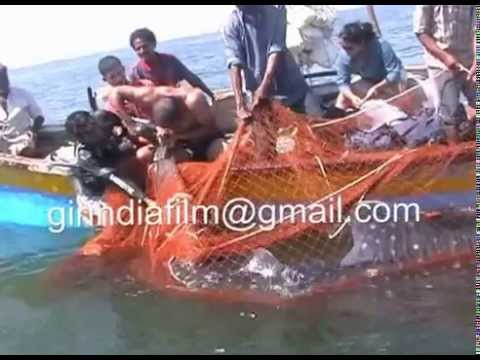 Female whale shark satellite-tagged in Gujarat at sutrapada