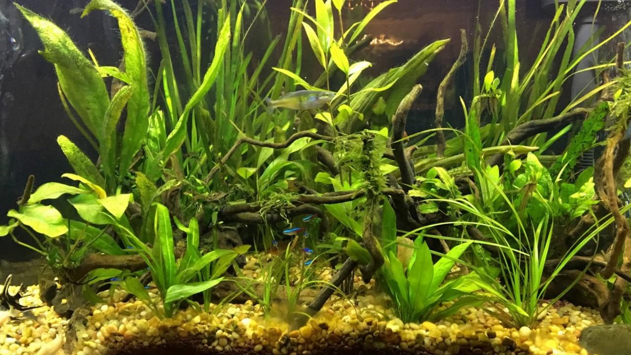 55 gallon planted tank top fin dustins fish tank plants for Dustins fish tanks