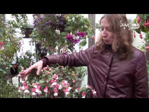 Фуксии в саду и дома  Коллекция Полины Киселевой
