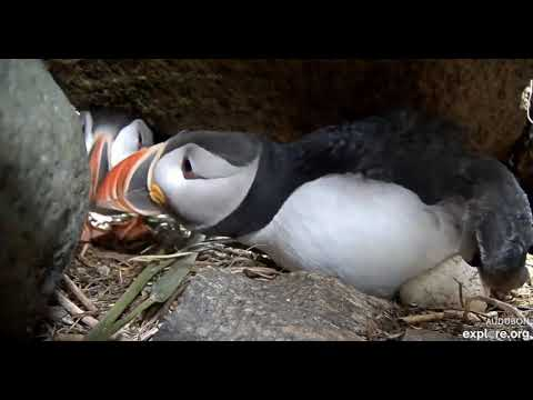 Puffling Hatches! 🐣 Puffin Burrow - Seal Island, Maine - June 26, 2019