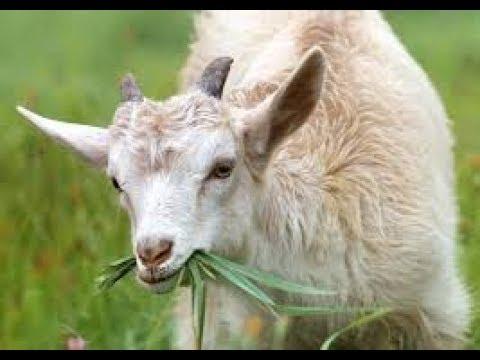 Goat rearing  and Mixed cropping-  ಮೇಕೆ ಸಾಕಣೆ Mēke sākaṇe