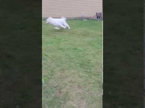 Playful Great Pyrenees Puppy