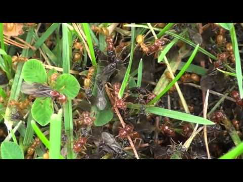 Ants with Wings in Slow Motion