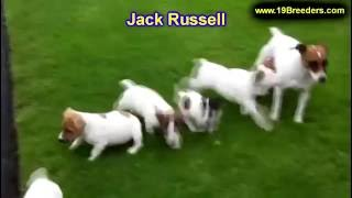 Jack Russell, Puppies, For, Sale, In, Albuquerque, New Mexico, Nm, Gallup, Carlsbad, Alamogordo, Hob