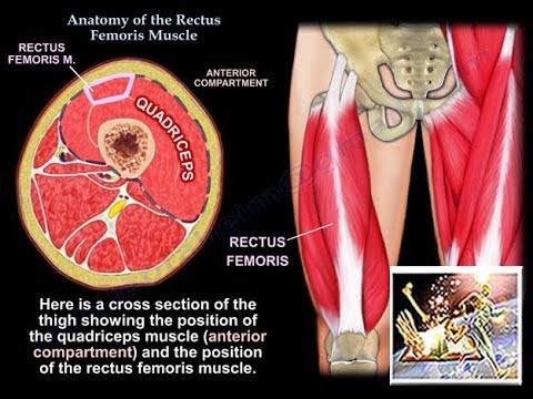 Anatomy Of The Rectus Femoris Muscle Everything You Need To Know Dr. Nabil Ebraheim