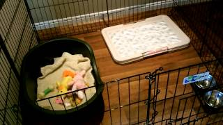Puppy Playpen For 4 Week Old Mini Aussies Rest Time