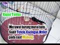 Merawat Murai Batu Sakit Tetelo Cacingan Nyilet Pada Saat Mabung  Mp3 - Mp4 Download