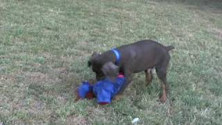 Magoo, Cute Red Doberman Puppy For Sale Playing, Doberman Puppies Can Be So Funny......