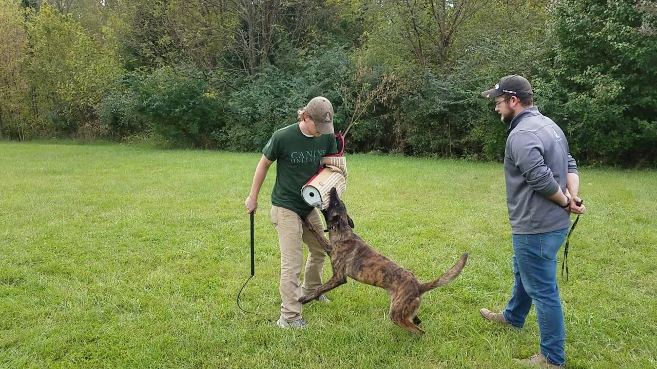 K9 Unleashed, Zeke Off Leash Protection Work, Protection Dog Sales