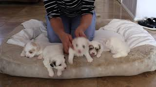 Coton de Tulear Puppies For Sale - Kara 10/20/20