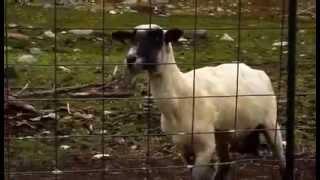 Le mouton qui crie !!!