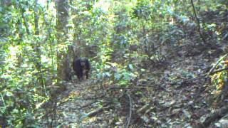 Video Chimpanzees in the Issa Valley (July 2013 - credit UPP/MPI EVA) download MP3, 3GP, MP4, WEBM, AVI, FLV November 2017