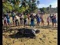 GIANT SEA TURTLE FOUND ON BEACH!!!