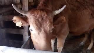 Корова! Клички коров! Корова Познакомьтесь!