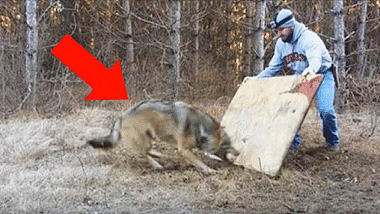 Мужчина Спас Волчицу   Спустя 4 Года Она Спасла Ему Жизнь