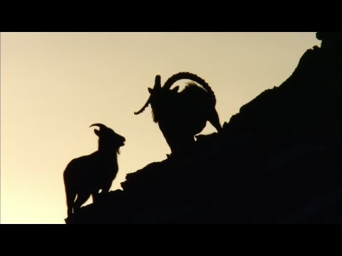 Hunting for Siberian ibex