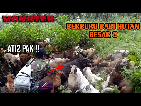 Berburu Babi Besar Jantan Di Pmcd Sumatera Barat Seru !! Berburu Tradisional PORBI SUMBAR