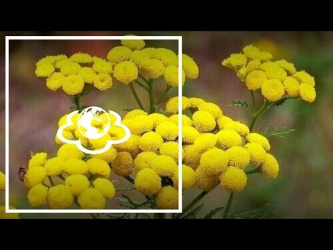 Пижма. Tanacetum | противопоказания | лекарственные | применение | свойства | народные | здоровье | планета | наталья | красота | зеленая