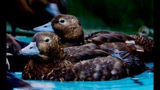 Science Spotlight - Eider Duck Research
