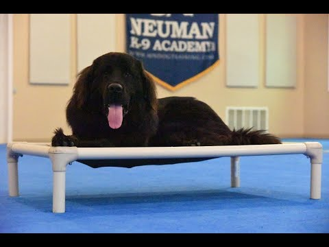 Maverick (Newfoundland) Boot Camp Dog Training Video Demonstration