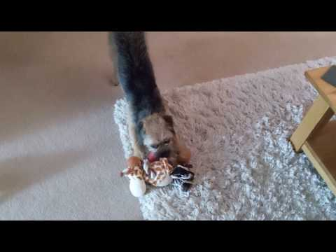 Border terrier Leeloo finds and plays with ball