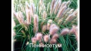 видео Астильба: посадка и уход в открытом грунте, нюансы выращивания цветов (фото)