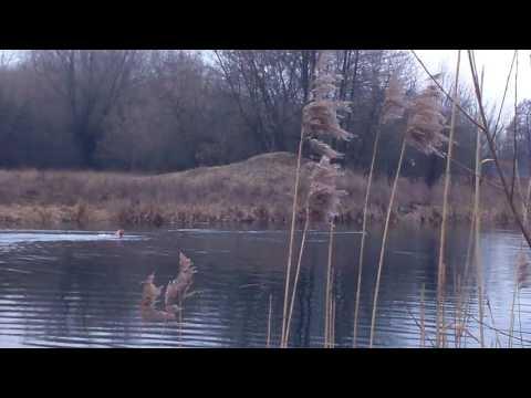 Bracco Italiano i kaczki / Bracco Italiano and ducks