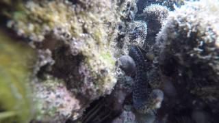 Baby Eel