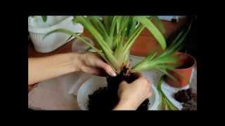 видео Цветы гузмания. Уход в домашних условиях за гузманией комнатной. Цветок гузмания минор, гузмания рондо: размножение, пересадка, цветение, детки. Растение гузмания.
