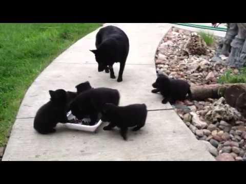 Schipperke puppies breakfast with mama