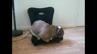 Our English Bulldog Dallas Sleeping On A Chair She Doesn't Fit On!