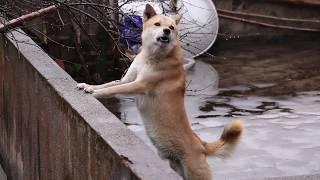 翻山越岭寻找安徽本地中华田园犬,又见大黄和大黑,不虚此行。发布中华...