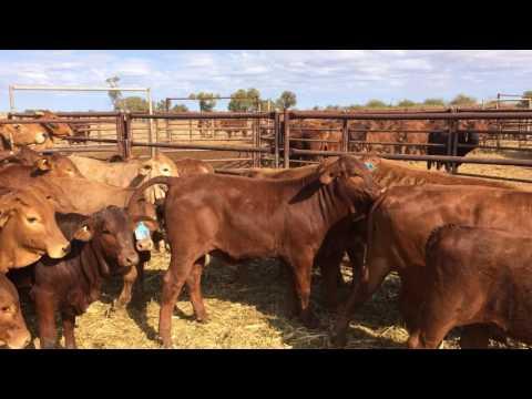 Loongana Pastoral Co 43 Heifers 191Kg average