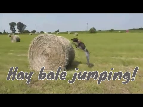 German Shorthair Pointer Hay Bale jumping! - GSP Agility and field fun!